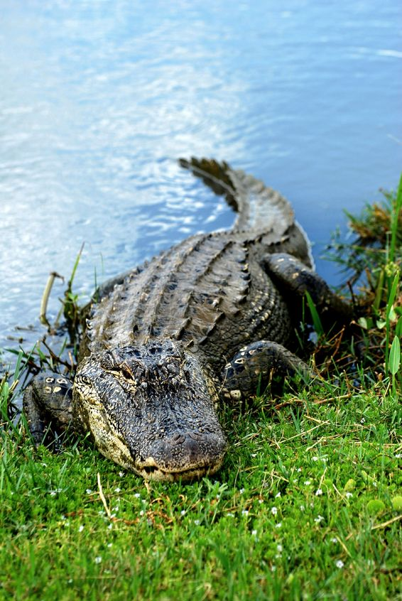 How many old business apps do you have running on alligator code?
